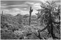 The Cholla Hug (claudiov958) Tags: arizona blackandwhite bw mountains blancoynegro desert ngc pretoebranco biancoenero superstitionmountains photoka claudiovaldes
