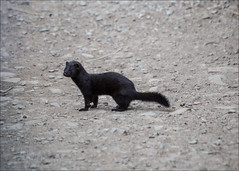 Meeting with a Mink (catb -) Tags: ireland animal fb mink wicklow mustelavison americanmink