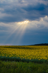Sun beam over the sunflowers field. (Blackcatstudio) Tags: nature sunflower sunset farming flower country cloud danger dark dramatic farm field horizon landscape light overcast sky storm summer sun sunbeam sunlight thunderstorm weather yellow nikon d7000