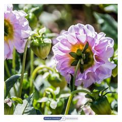 Flores dos jardins do Pao Municipal de Goinia (angela.macario) Tags: flowers brazil flores flower brasil garden flora flor jardim municipal pao gois florido goiania