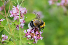 Male white-tailed bumblebee (Wendy North) Tags: bumblebee male garden whitetailed marjoram