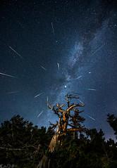 Perseid Meteor Shower 2016 (Bill Bowman) Tags: perseidmeteorshower meteors meteorstreaks grassytop colorado milkyway limberpinesnag stars