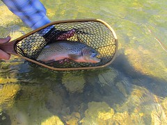 Alberta Cuttie (kdlinab) Tags: alberta flyfishing trout cutthroat