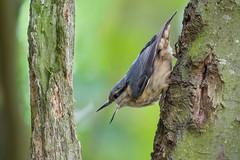 Nuthatch (GaseousClay1) Tags: bird nature wildlife habitat nuthatch avian sittaeuropaea plumage worcestershirewildlifetrust