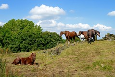 Horses on the hill. (rustyruth1959) Tags: clouds blue sky equine trees nature yorkshire ripponden green field wall hill landscape outdoor animals horses nikkor nikond3200 nikon animal grassland horse