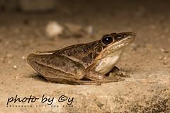 Rocket Frog  (Litoria nasuta) (peter soltys) Tags: petersoltys photography macro macrophotography adventure photobycy herping amphibia frog rocketfrog litorianasuta litoria