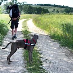 """Via Francigena."" #Pellegrino #Dog #Photography #tuscany #Viafrancigena #camminando #Photo #Canoneos1000D #Weimaraner (chiaramartelli) Tags: pellegrino dog photography tuscany viafrancigena camminando photo canoneos1000d weimaraner"
