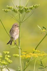 Linnet  (skees499 ) Tags: linnet kneu alblasserdam keesmolenaar d500 alblasserwaard birding vogel natuur cardueliscannabina netherlands holland