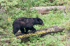 Black Bear (HubbleColor {Zolt}) Tags: blackbear wildlife yellowstonenationalpark travel wy wyoming unitedstates us