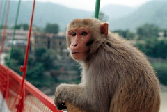 [monkey] (tyronerodovalho1) Tags: india indian bridge rishikeshi uttarakhand ganges river travel life animal monkey