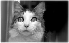 (Riik@mctr) Tags: max cat blackandwhite pet animal monochrome kitten depth field indoor fone phone samsung galaxy gt19100 s2