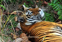 DSC_3628 (ajwhitehead1979) Tags: bengaltiger bhandavgarh india royalbengaltiger tiger