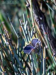 Common Blue - male (tinlight7) Tags: butterfly blue commonblue male issykkul kyrgyzstan taxonomy:kingdom=animalia animalia taxonomy:phylum=arthropoda arthropoda taxonomy:subphylum=hexapoda hexapoda taxonomy:class=insecta insecta taxonomy:subclass=pterygota pterygota taxonomy:order=lepidoptera lepidoptera taxonomy:superfamily=papilionoidea papilionoidea taxonomy:family=lycaenidae lycaenidae taxonomy:subfamily=polyommatinae polyommatinae taxonomy:tribe=polyommatini polyommatini taxonomy:genus=polyommatus polyommatus taxonomy:species=icarus taxonomy:binomial=polyommatusicarus icarusblauwtje argoazzurro icaro argusbleu argusicare lycneicare icare azurdicare azurdelabugrane azurcommun blavetacomuna polyommatusicarus hauhechelbluling gemeinerbluling  taxonomy:common=icarusblauwtje taxonomy:common=argoazzurro taxonomy:common=icaro taxonomy:common=argusbleu taxonomy:common=argusicare taxonomy:common=lycneicare taxonomy:common=icare taxonomy:common=azurdicare taxonomy:common=azurdelabugrane taxonomy:common=azurcommun taxonomy:common=blavetacomuna taxonomy:common=commonblue taxonomy:common=hauhechelbluling taxonomy:common=gemeinerbluling taxonomy:common=