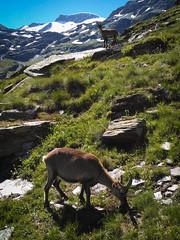 Vanoise & bouquetins (Fiona Blair) Tags: vanoise national parc bpuquetins nature landscape mountains animals summer trip trek hike bivouac snow mountainscape