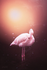 (ingrid.schnelle) Tags: canon eos 5d mark ii ef70200mm f28l usm norge norway outdoor animal bird pink flamingo water summer 2016 bright dof