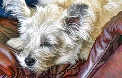the angel sleepszzzz HSS! (Dotsy McCurly) Tags: ruffy cute dog cairnterrier sleep sleeping snooze zzz adobe photoshop topaz hss happy sliders sunday dof nikon d750 nj