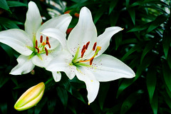 Lily (Casablanca Lilies) :  (Dakiny) Tags: japan kanagawa yokohama aoba ichigao outdoor nature park plant flower blossom lily casablanca casablancalilies casablancalilium wite macro bokeh 2016 summer june nikon nikonclubit d7000 afsnikkor50mmf18g nikonafsnikkor50mmf18g