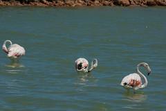 Flamingos. (Azariel01) Tags: 2016 espagne españa spain murcia sanpedrodelpinatar salinas maraissalant sel salt oiseau bird flamand flamingo parque natural park parc naturel saltmarches