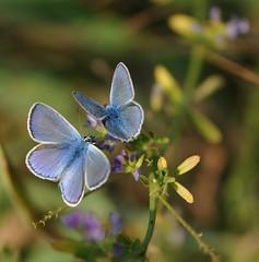 le fatine... (andrea.zanaboni) Tags: farfalla butterfly blu colore colors nikon macro fate dipinte natura
