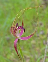 Carousel Spider Orchid - Caladenia arenicola (spiderorchid) Tags: western australia orchid westernaustralia