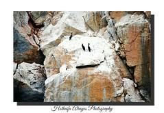 #سلطنة_عمان #عمان #مسندم #خصب #طائر #طيور #رحلة_بحرية #صخور #جبال #سياحة #طبيعة #sultanate_oman #sultanate_of_oman #sultanateofoman #musandam #khasab #sea_trip #travel #nature #bird #birds #mountain #mountains #rock #rocks (alrayes1977) Tags: travel mountain mountains bird nature birds rock rocks musandam khasab sultanateofoman عمان طبيعة جبال طيور صخور seatrip طائر خصب سياحة مسندم سلطنةعمان رحلةبحرية sultanateoman