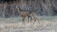 i see you deer (Ange 29) Tags: canada field king olympus f65 deer hay om zuiko township omd em1 600mm