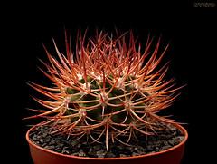 Eriosyce bulbocalyx (Nyxtofulakas) Tags: summer nature succulent spines eriosyce neoporteria pyrrhocactus bulbocalyx