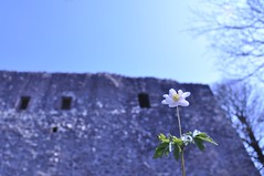 Das Buschwindrschen und die Burg der Raubritter von Hune (Uli He - Fotofee) Tags: nikon uli ulrike frhling nikon90 fotofee ulrikehe ulihe