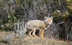 Patagonian Grey Fox (dusicyon griseus) looking surprised (Paul Cottis) Tags: chile patagonia dog tierradelfuego march fox 31 2015 paulcottis
