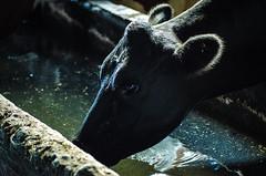 Leche (puntos suspensivos(..)) Tags: animals cow milk farm campo animales leche vacas granjas