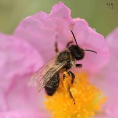IMG_9614a (David Charles Buchanan) Tags: pollen cistuscreticus beemacro davidcharlesbuchanan dcb15 mediterraneanwildflower