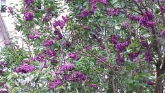 Blick auf den Garten (saahiradancer) Tags: priska schwarzwald frühling flieder nieke saahira