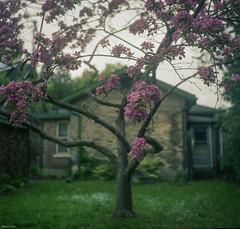 Blossoms (BunnySafari) Tags: 120 film garden spring blossoms guelph fleeting crabtree yashicamat 2015 fpp kodakportra400 heritagehouse brilliantcolour