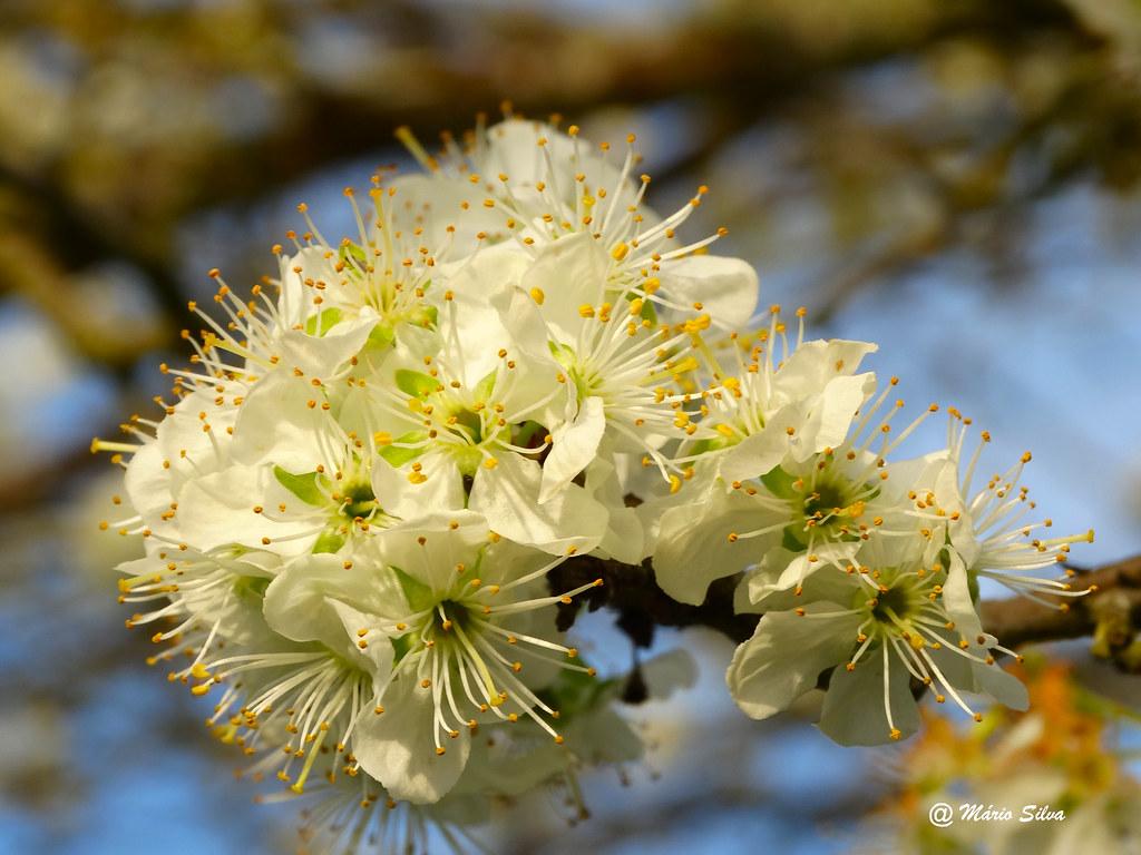 Águas Frias (Chaves) - ... simples ramo florido ...