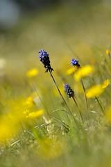 fleurs de champ (frederic.laroche6) Tags: nikon provence paysages 105mm proxi mouries d7100