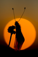 Ascalaphid (Richard Becker Photography) Tags: sunset sun france set insect french insects libelloides coccajus ascalaphid