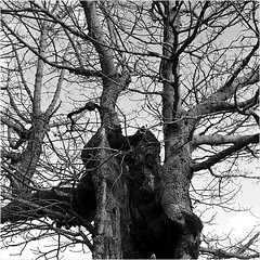 mon vieil ami (JJ_REY) Tags: bw france tree 6x6 film ami ilford vosges abre hp5plus rolleiflex28e kastelberg