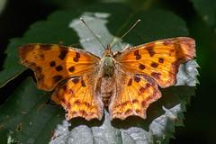 _F0A4088.jpg (Kico Lopez) Tags: rio spain galicia mariposas lugo mio polygoniacalbum lepidopteros