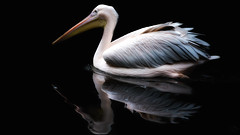 Blackwater Pelican (patrickmai875) Tags: black reflection bird art love water canon wow cool wasser kunst awesome ngc fine pelican national pelikan spiegelung f28 schwarz liebe vogel 6d 70200mm geographics