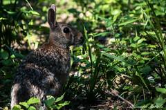 Coniglio.. (Alessandro Mortola) Tags: verde grigio natura erba foglia prato animali animale coniglio mandria
