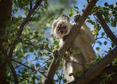 Vervet monkey (loveexploring) Tags: vervetmonkey namibia mahangonationalpark chlorocebuspygerythrus primate monkey wildlife africa lookingdown eyecontact