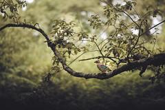 Prehistoric Bird (Gure Elia) Tags: bird samyang135f2 bokeh pajaro orgi rbol tree forest bosque