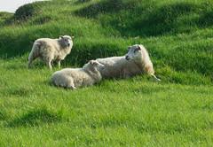 Snfellsnes sheep (Arno Gartzke) Tags: iceland snfellsnes sheep green grass