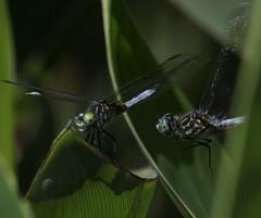 DragonFly_SAF9724 (sara97) Tags: copyright2016saraannefinke dragonfly flyinginsect insect missouri mosquitohawk nature odonata outdoors photobysaraannefinke predator saintlouis towergrovepark urbanpark