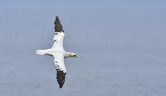 e_DSC2023 (Paul.Pics.) Tags: bird wings blue white cliffs daiseys rspb gull freedom span water nature feathers gannet sea coast glide focus bempton