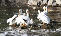 American White Pelican (Pelecanus erythrorhynchos Gmelin) 06-10-2016 Clementson Wayside Park, Lake of the Woods Co. MN 4 (Birder20714) Tags: birds minnesota pelicans pelicanidae pelecanus erythrorhynchos