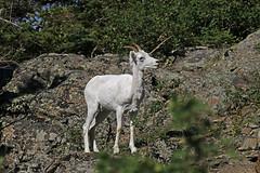 Dall Sheep Ewe (tomblandford) Tags: dallsheep ewe cugachstatepark alaskanwildlife wildlifeofthewest dallewe dailynaturetnc13 dailynaturetnc14 fantasticwildlife