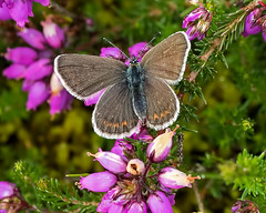 Female Silver-studded Blue Butterfly (Plebejus argus) (DerekL1) Tags: uk butterfly insect shropshire heathland lycaenidae plebejusargus preesheath silverstuddedbluebutterfly