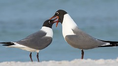 """It won't hurt at all.  I'll give you a little laughing gas"" (Melis J) Tags: sea bird florida gull gulls laughinggull leucophaeusatricilla"