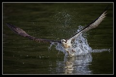 Splash-Down... (DTT67) Tags: bird nature canon fishing wildlife national raptor geographic osprey nationalgeographic 100400mkii 1dxmkii
